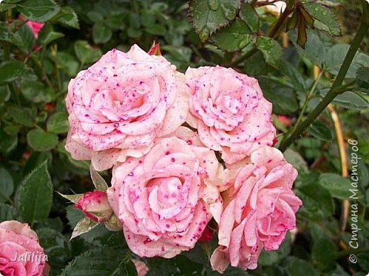 Желаю здравствовать и процветать в своих делах всем моим гостям  и предлагаю несколько минут отдыха среди моих роз, которые сейчас цветут. В том году всё идёт с опозданием. Этот пост не научная статья, просто несколько красивых картинок из моего сада. фото 44