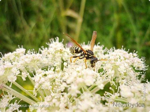 Июль был солнечным и жарким.В этом году был флешмоб бабочек и других насекомых! Я хочу поделиться с вами этой красотой. фото 4