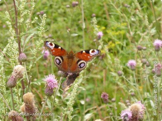 Июль был солнечным и жарким.В этом году был флешмоб бабочек и других насекомых! Я хочу поделиться с вами этой красотой. фото 2