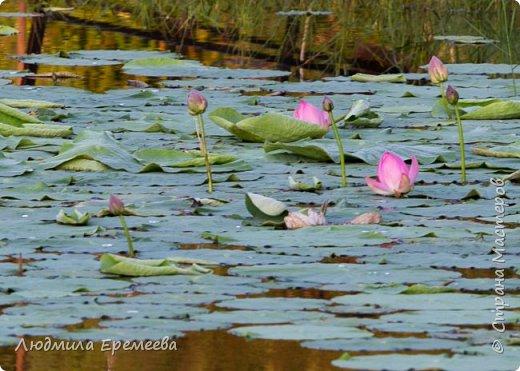 Вот и у нас в Амурской области наступил сезон цветения лотосов. фото 3