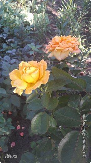 О розах. фото 13
