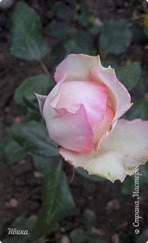 О розах. фото 27