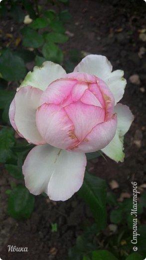 О розах. фото 29