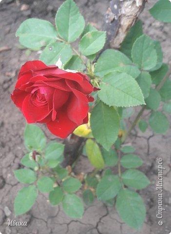 О розах. фото 7