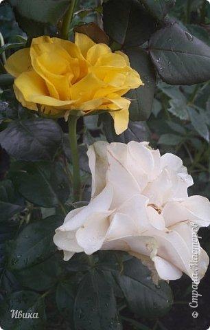 О розах. фото 24
