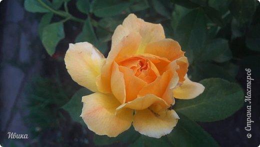 О розах. фото 10
