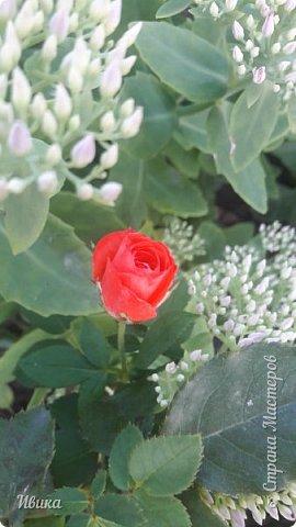 О розах. фото 15