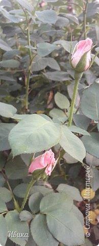О розах. фото 4