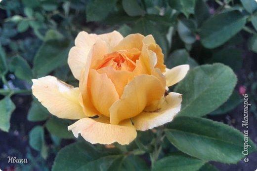 О розах. фото 11