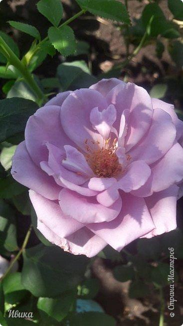 О розах. фото 3