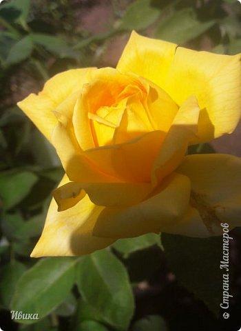 О розах. фото 23