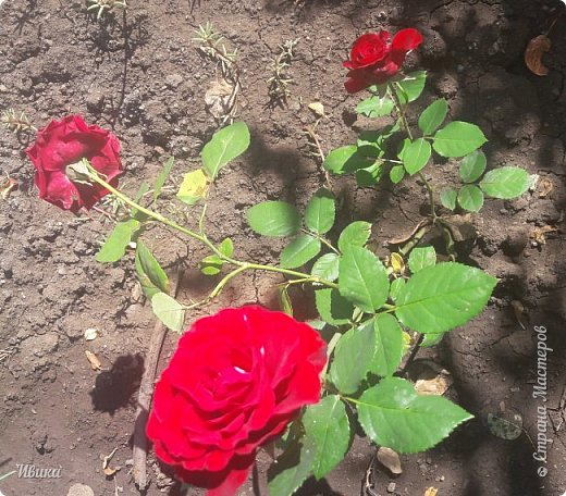 О розах. фото 6