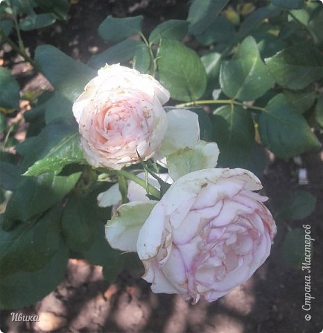 О розах. фото 28