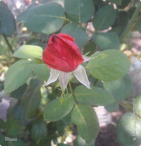 О розах. фото 19