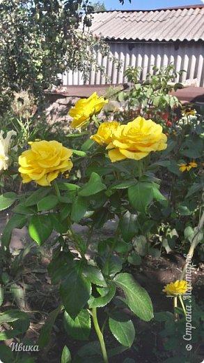 О розах. фото 25