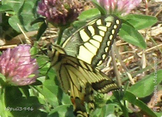 Махаон - красивая бабочка, которая редко находится в покое. Сегодня мне повезло - махаон прилетел на полянку, заросшую клевером и долго  позировал, перелетая с цветка на цветок. Полюбуйтесь этим живым украшением... фото 3