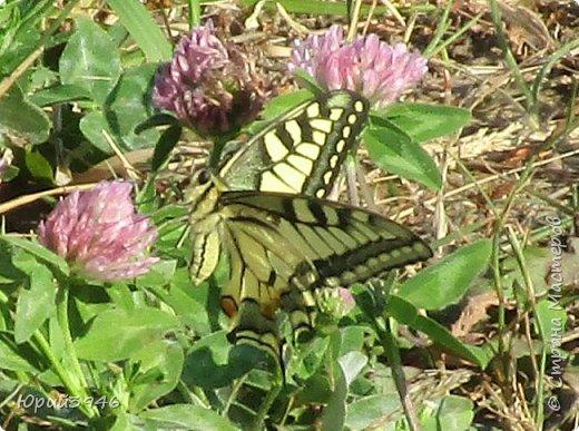 Махаон - красивая бабочка, которая редко находится в покое. Сегодня мне повезло - махаон прилетел на полянку, заросшую клевером и долго  позировал, перелетая с цветка на цветок. Полюбуйтесь этим живым украшением... фото 5