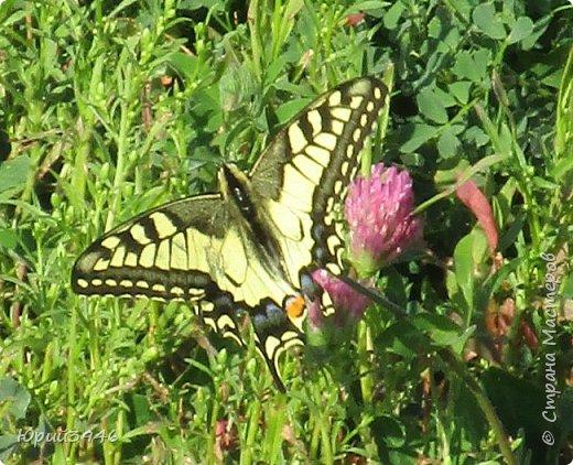 Махаон - красивая бабочка, которая редко находится в покое. Сегодня мне повезло - махаон прилетел на полянку, заросшую клевером и долго  позировал, перелетая с цветка на цветок. Полюбуйтесь этим живым украшением... фото 2