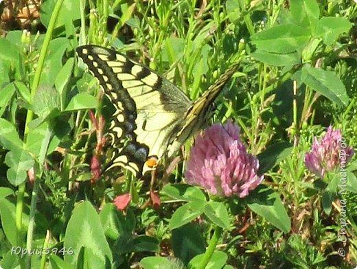 Махаон - красивая бабочка, которая редко находится в покое. Сегодня мне повезло - махаон прилетел на полянку, заросшую клевером и долго  позировал, перелетая с цветка на цветок. Полюбуйтесь этим живым украшением... фото 6