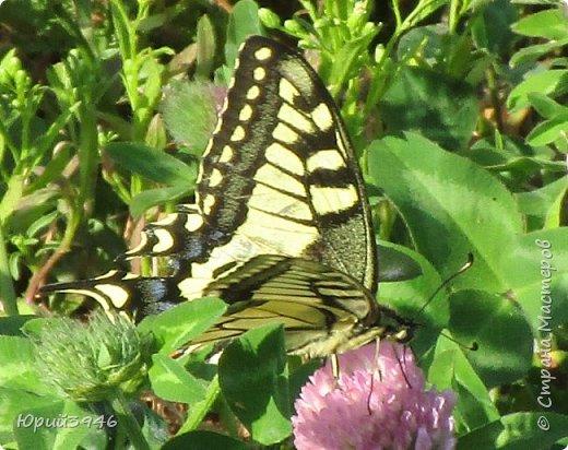 Махаон - красивая бабочка, которая редко находится в покое. Сегодня мне повезло - махаон прилетел на полянку, заросшую клевером и долго  позировал, перелетая с цветка на цветок. Полюбуйтесь этим живым украшением... фото 4