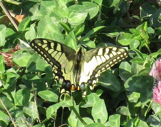 Махаон - красивая бабочка, которая редко находится в покое. Сегодня мне повезло - махаон прилетел на полянку, заросшую клевером и долго  позировал, перелетая с цветка на цветок. Полюбуйтесь этим живым украшением... фото 1