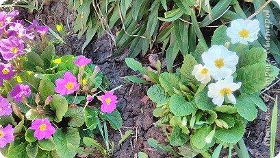 Всем привет, приглашаю к себе на дачу) Дачница я молодая - 3 года мне всего, но кое-что есть))) Этой розой налюбоваться не могу, в том году она не так пышкно цвела, а аромат! Цветы 15 см в диаметре) фото 32