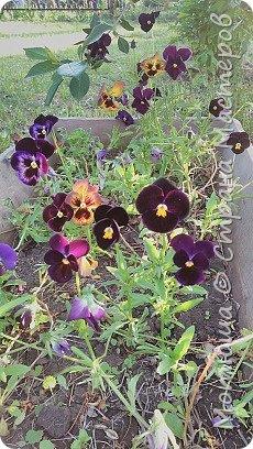 Всем привет, приглашаю к себе на дачу) Дачница я молодая - 3 года мне всего, но кое-что есть))) Этой розой налюбоваться не могу, в том году она не так пышкно цвела, а аромат! Цветы 15 см в диаметре) фото 25
