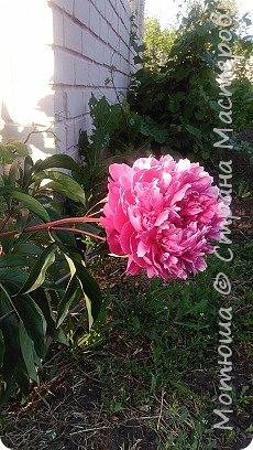 Всем привет, приглашаю к себе на дачу) Дачница я молодая - 3 года мне всего, но кое-что есть))) Этой розой налюбоваться не могу, в том году она не так пышкно цвела, а аромат! Цветы 15 см в диаметре) фото 30