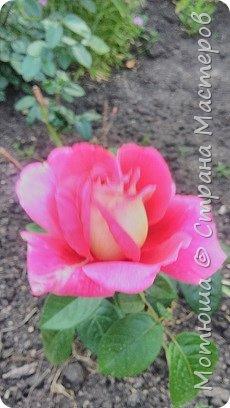 Всем привет, приглашаю к себе на дачу) Дачница я молодая - 3 года мне всего, но кое-что есть))) Этой розой налюбоваться не могу, в том году она не так пышкно цвела, а аромат! Цветы 15 см в диаметре) фото 3