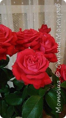 Всем привет, приглашаю к себе на дачу) Дачница я молодая - 3 года мне всего, но кое-что есть))) Этой розой налюбоваться не могу, в том году она не так пышкно цвела, а аромат! Цветы 15 см в диаметре) фото 6