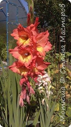 Всем привет, приглашаю к себе на дачу) Дачница я молодая - 3 года мне всего, но кое-что есть))) Этой розой налюбоваться не могу, в том году она не так пышкно цвела, а аромат! Цветы 15 см в диаметре) фото 12