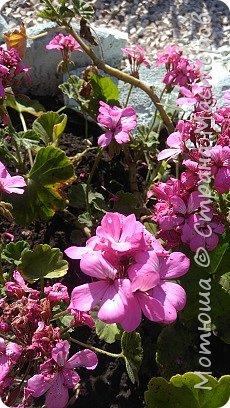 Всем привет, приглашаю к себе на дачу) Дачница я молодая - 3 года мне всего, но кое-что есть))) Этой розой налюбоваться не могу, в том году она не так пышкно цвела, а аромат! Цветы 15 см в диаметре) фото 2