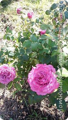 Всем привет, приглашаю к себе на дачу) Дачница я молодая - 3 года мне всего, но кое-что есть))) Этой розой налюбоваться не могу, в том году она не так пышкно цвела, а аромат! Цветы 15 см в диаметре) фото 1