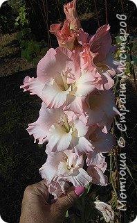 Всем привет, приглашаю к себе на дачу) Дачница я молодая - 3 года мне всего, но кое-что есть))) Этой розой налюбоваться не могу, в том году она не так пышкно цвела, а аромат! Цветы 15 см в диаметре) фото 48