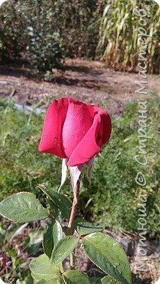 Всем привет, приглашаю к себе на дачу) Дачница я молодая - 3 года мне всего, но кое-что есть))) Этой розой налюбоваться не могу, в том году она не так пышкно цвела, а аромат! Цветы 15 см в диаметре) фото 9
