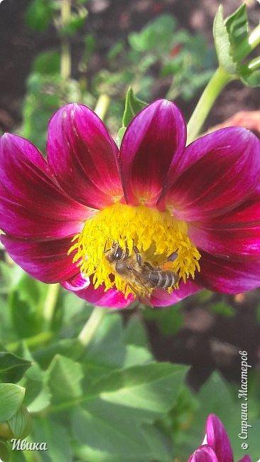 Доброго времени суток, дорогие соседи! Панорамные фото у меня как-то не очень получаются.  Но я учусь! А пока предлагаю посмотреть фото пчёлки-трудяжки.  Фото сделаны в течение 20-25 минут. Не более.  Мне они очень нравятся!