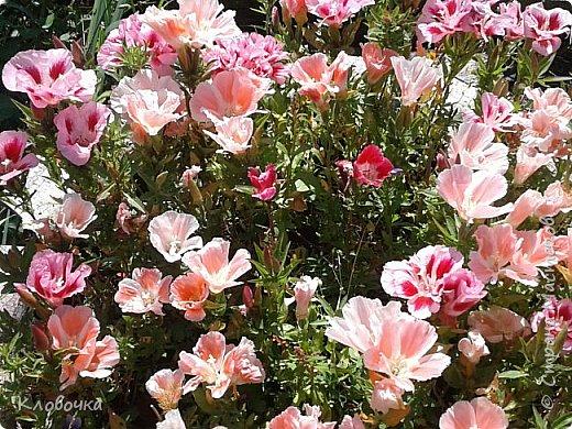 Цветочный хоровод на моей дачке - красавица Годеция , фото 1
