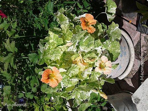 Цветочный хоровод на моей дачке - красавица Годеция , фото 2