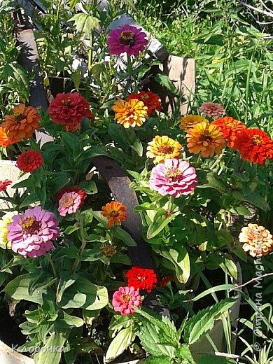 Цветочный хоровод на моей дачке - красавица Годеция , фото 3