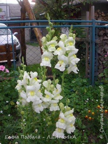 Приветствую, дорогие друзья! Еще хотелось бы поделиться этой цветочной красотой Прикарпатья. с. Шешоры фото 10