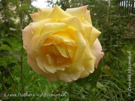 Приветствую, дорогие друзья! Еще хотелось бы поделиться этой цветочной красотой Прикарпатья. с. Шешоры фото 17