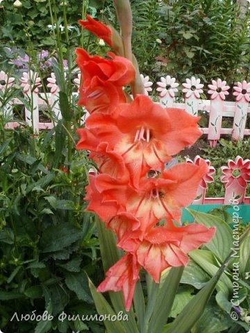Вот и наступил последний день августа, последний день лета. Но еще долго нас будут радовать своей красотой и неповторимостью дворовые цветники и садовые участки. Каких только цветов не встретишь. Хочу рассказать об одном, что растет у меня.Этот цветок известен не только цветоводам-профессионалам – его хорошо знают садоводы-любители и все, кто просто любит цветы. Это гладиолус. фото 12