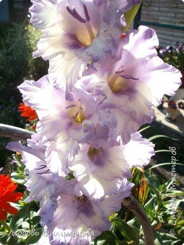 Вот и наступил последний день августа, последний день лета. Но еще долго нас будут радовать своей красотой и неповторимостью дворовые цветники и садовые участки. Каких только цветов не встретишь. Хочу рассказать об одном, что растет у меня.Этот цветок известен не только цветоводам-профессионалам – его хорошо знают садоводы-любители и все, кто просто любит цветы. Это гладиолус. фото 3