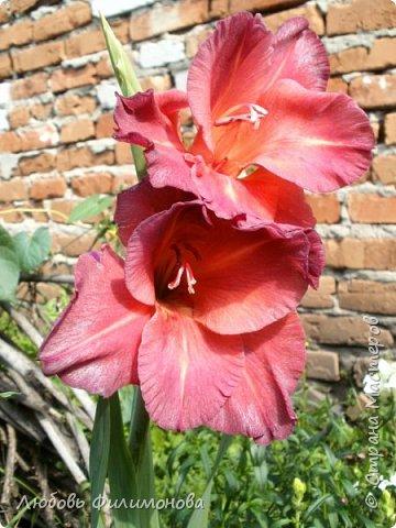 Вот и наступил последний день августа, последний день лета. Но еще долго нас будут радовать своей красотой и неповторимостью дворовые цветники и садовые участки. Каких только цветов не встретишь. Хочу рассказать об одном, что растет у меня.Этот цветок известен не только цветоводам-профессионалам – его хорошо знают садоводы-любители и все, кто просто любит цветы. Это гладиолус. фото 2