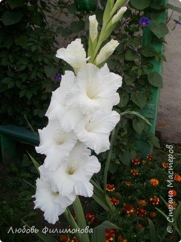 Вот и наступил последний день августа, последний день лета. Но еще долго нас будут радовать своей красотой и неповторимостью дворовые цветники и садовые участки. Каких только цветов не встретишь. Хочу рассказать об одном, что растет у меня.Этот цветок известен не только цветоводам-профессионалам – его хорошо знают садоводы-любители и все, кто просто любит цветы. Это гладиолус. фото 4