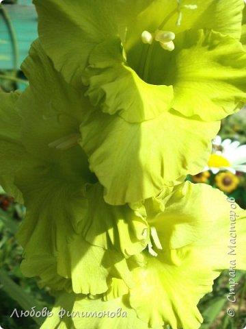 Вот и наступил последний день августа, последний день лета. Но еще долго нас будут радовать своей красотой и неповторимостью дворовые цветники и садовые участки. Каких только цветов не встретишь. Хочу рассказать об одном, что растет у меня.Этот цветок известен не только цветоводам-профессионалам – его хорошо знают садоводы-любители и все, кто просто любит цветы. Это гладиолус. фото 7
