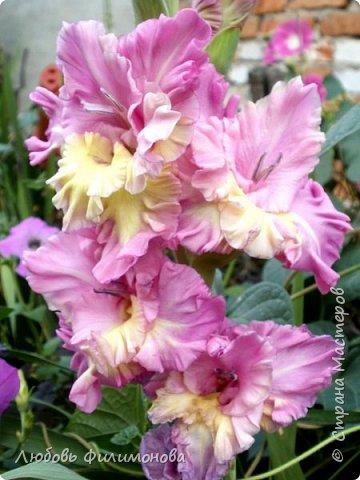 Вот и наступил последний день августа, последний день лета. Но еще долго нас будут радовать своей красотой и неповторимостью дворовые цветники и садовые участки. Каких только цветов не встретишь. Хочу рассказать об одном, что растет у меня.Этот цветок известен не только цветоводам-профессионалам – его хорошо знают садоводы-любители и все, кто просто любит цветы. Это гладиолус. фото 1