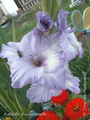 Вот и наступил последний день августа, последний день лета. Но еще долго нас будут радовать своей красотой и неповторимостью дворовые цветники и садовые участки. Каких только цветов не встретишь. Хочу рассказать об одном, что растет у меня.Этот цветок известен не только цветоводам-профессионалам – его хорошо знают садоводы-любители и все, кто просто любит цветы. Это гладиолус. фото 9