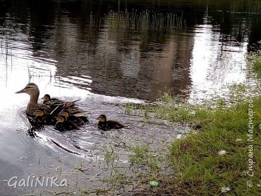 """Доброе утро, друзья! Продолжаю свой репортаж """"Картинки солнечного ЛЕТА"""". Лето этого года в Санкт-Петербурге было на удивление сказочно жаркое, солнечное!  В такую погоду хотелось  идти, бежать, ехать к речке, к озеру, к морю. До моря мне далеко, а вот озера рядом!  Тем более, что почти каждый день ласковое утреннее солнышко манило выйти из дома на улицу.  Расскажу о том, что меня удивило и восхитило ранним утром в июне. А затем последовали мои наблюдения ...       фото 4"""