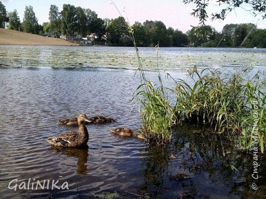 """Доброе утро, друзья! Продолжаю свой репортаж """"Картинки солнечного ЛЕТА"""". Лето этого года в Санкт-Петербурге было на удивление сказочно жаркое, солнечное!  В такую погоду хотелось  идти, бежать, ехать к речке, к озеру, к морю. До моря мне далеко, а вот озера рядом!  Тем более, что почти каждый день ласковое утреннее солнышко манило выйти из дома на улицу.  Расскажу о том, что меня удивило и восхитило ранним утром в июне. А затем последовали мои наблюдения ...       фото 21"""